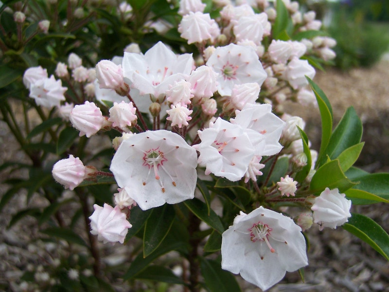 Kalmia latifolia Elf - Dwarf Mountain Laurel